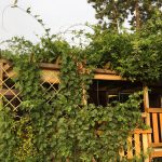 Met een wisteria geef jij je tuin weer kleur!